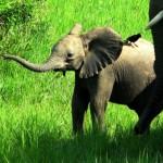 elephanteau_