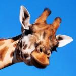girafe_